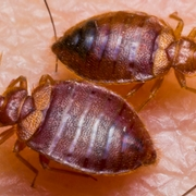 Bed Bug Best Management Practices